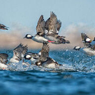 ducks taking flight