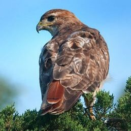 Redtail Hawk on Cedar by Janet Dimattia