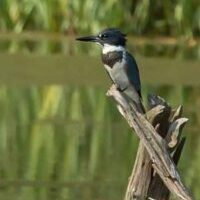 Belted Kingfisher on Stump