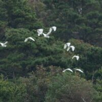 Snowy egrets by Gerry Beetham