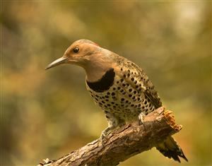 Northern flicker: photo by David Constance