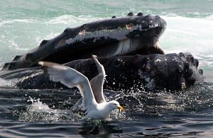 web_whale_gull_by_peter_trull