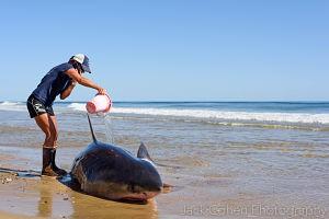 white-shark-stranding-2015-credit-AWSC_opt